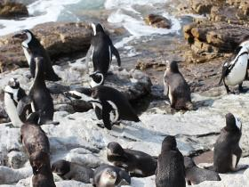 Cape_edelWeiss_Pinguins